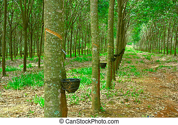 Rubber - close up shot of rubber trees