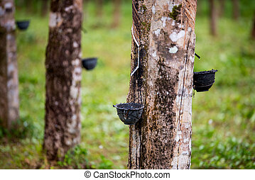 Rubber support rubber tree.