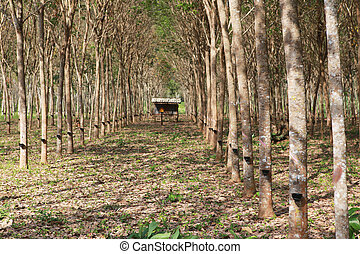 Rubber tree garden plant of south thailand