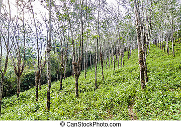 rubber tree plantation in Thailand, Koh Chang