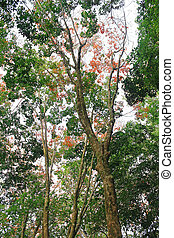 Rubber tree, South of Thailand