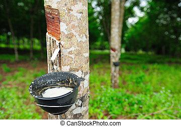 rubber tree - rubber