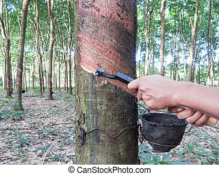 Rubber tree tapping - Gardener is tapping on rubber tree