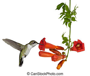 rubi, throated, hummingbird, goles, néctar, de, um, trompete, videira