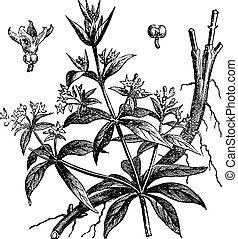 Rubia tinctorum or Common madder vintage engraving - Rubia ...