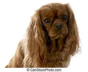 cavalier king charles spaniel female - color is called ruby