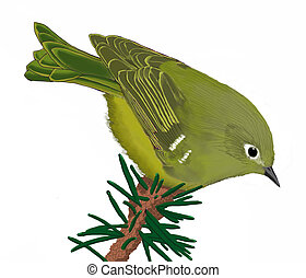 Ruby-crowned Kinglet on spruce - Regulus calendula