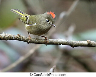 Ruby-crowned Kinglet Perched on a Branch