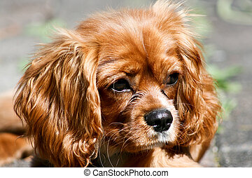 Ruby (Tan) Cavalier King Charles Puppy - Ruby (Tan) Cavalier...