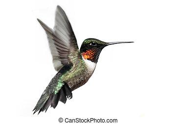ruby-throated, aislado, colibrí