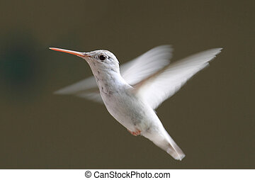 ruby-throated, albino, colibrí