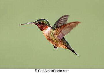 ruby-throated, colibrí, (archilochus, colubris)