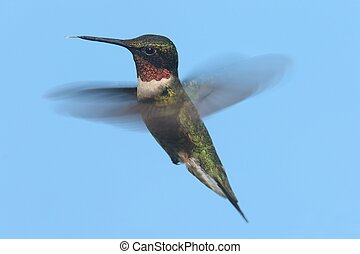 ruby-throated, colibrí, (archilochus, colubris)