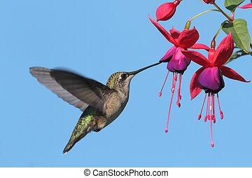 ruby-throated, colibri