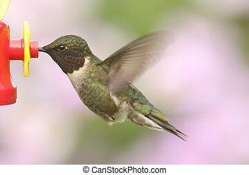 ruby-throated, colubris), colibri, (archilochus