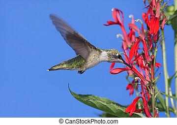ruby-throated, colubris), hummingbird, (archilochus
