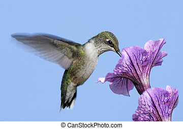 ruby-throated, humingbird