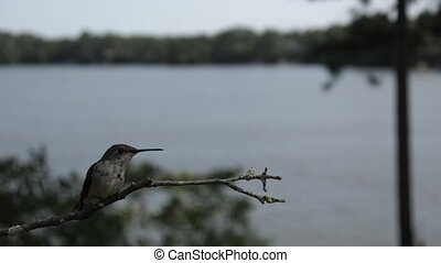 Ruby-throated humming bird female (Archilochus colubris) lands to rest on perch.