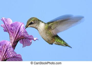 Ruby-throated Hummingbird (archilochus colubris) in flight feeding on a flower
