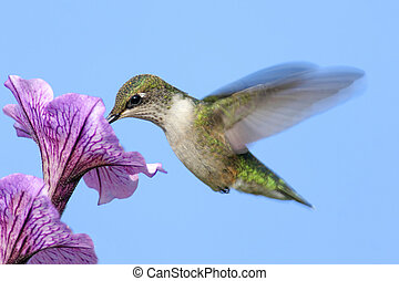 Ruby-throated Hummingbird (archilochus colubris) in flight ...