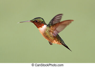Ruby-throated Hummingbird (archilochus colubris) in flight with a green background