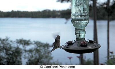 Ruby-throated hummingbird female drinks deeply from a feeder by the lake.