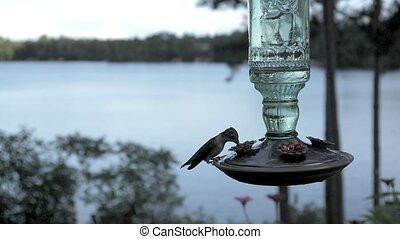 Ruby-throated hummingbird gets a deep drink of nectar by the...