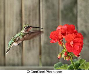 ruby-throated, hummingbird, i, bodziszek