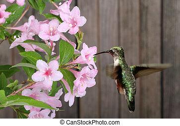 ruby-throated, hummingbird, i, kapryfolium