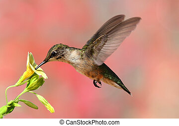 Juvenile Ruby-throated Hummingbird (archilochus colubris) in flight at a flower with a colorful background