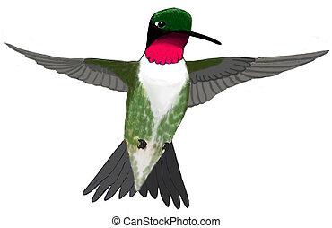 Ruby-throated Hummingbird - male Archilochus colubris