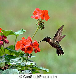 Male ruby-throated hummingbird feeding on a geranium flower