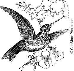 Ruby-throated Hummingbird or Archilochus colubris, vintage engraving. Old engraved illustration of a Ruby-throated Hummingbird.