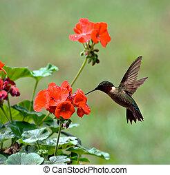 Ruby-throated Hummingbird - Male ruby-throated hummingbird...