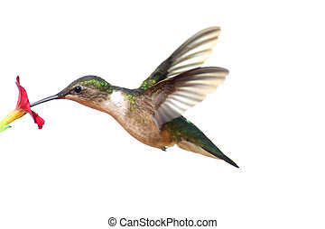 ruby-throated, isolé, colibri