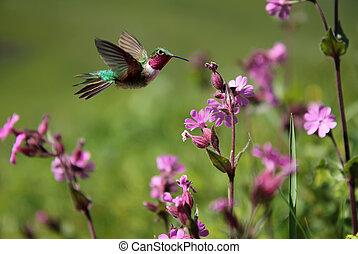 ruby-throated, kolibrie, en, roze, zomer, bloemen