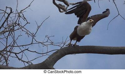 ruch, haliaeetus, fish-eagle, wspaniały, przelotny, powolny, afrykanin, vocifer, wzdryga się