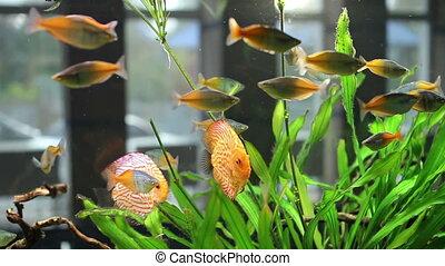 ruchomy, akwarium, fish