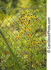 Rudbeckia behind a fence