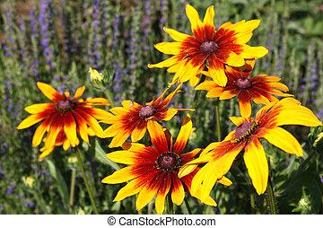 Rudbeckia flower (Black-eyed Susan flower)
