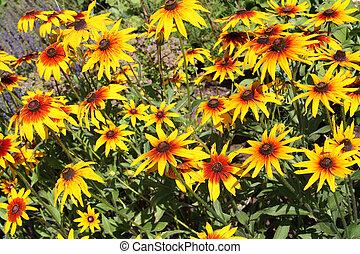 Rudbeckia flower (Black-eyed Susan flower) - Blooming...