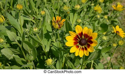 rudbeckia flowers in farm garden