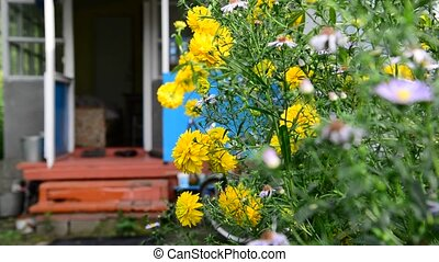 Rudbeckia flowers near rural house in Russia