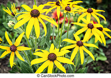 Rudbeckia flowers (Rudbeckia hirta) in the garden