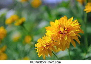 Rudbeckia Laciniata Flowers (Golden Glow Coneflower) - ...