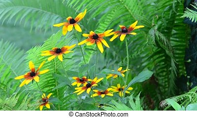 Rudbeckias with Ferns in garden - Yellow Rudbeckias with...