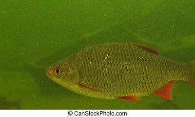 rudd - Scardinius erythrophthalmus - in a lake