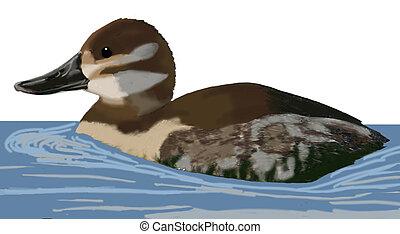 Ruddy Duck - Oxyura jamaicensis - female