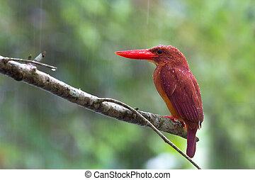 Ruddy Kingfisher alone in the rain.