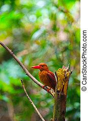 Ruddy Kingfisher-Halcyon coromanda bangsi - Ruddy...